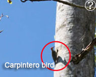 carpintero bird in topes de collantes